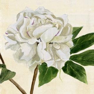 Peony in Bloom II