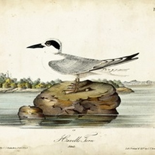 Audubon Havells Tern