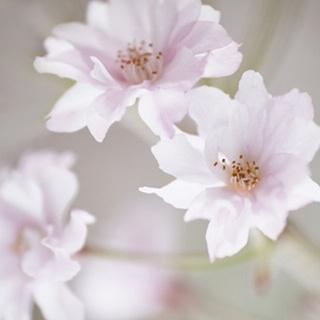 Cherry Blossom Study III