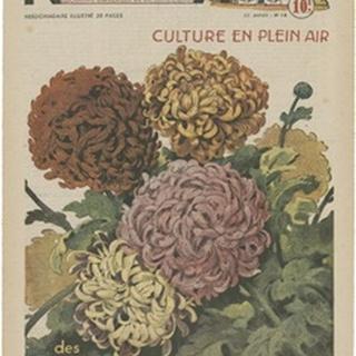 Plantez Des Chrysanthemes