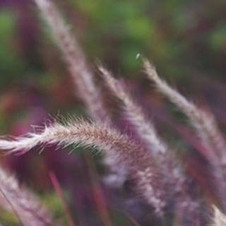 Purple Plumes I