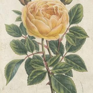 Van Houtte Yellow Rose