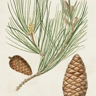 Antique Pine Cones III