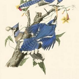 Audubon Blue Jays