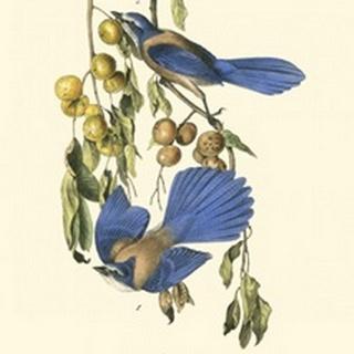 Audubon Florida Jays