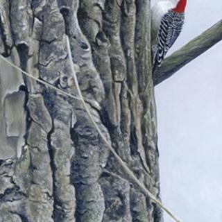Red Bellied Woodpecker II