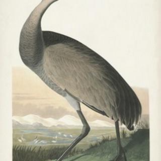 Pl 261 Hooping Crane