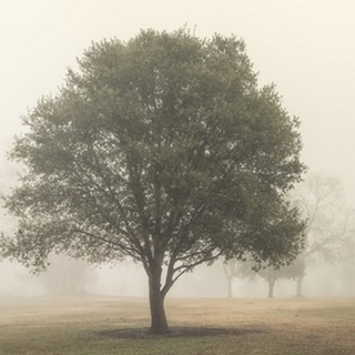 Trees in the Fog I