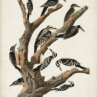 Pl. 417 Marias Woodpecker
