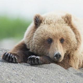 Bear Life IV