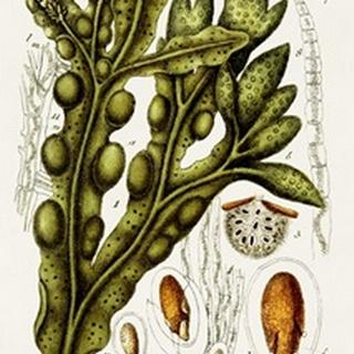 Seaweed Illustration IV