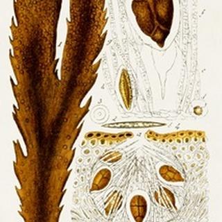Seaweed Illustration II