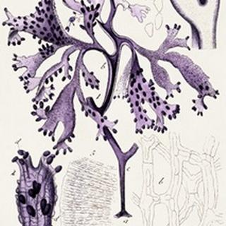 Seaweed Illustration IX