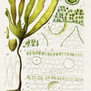 Seaweed Illustration VI