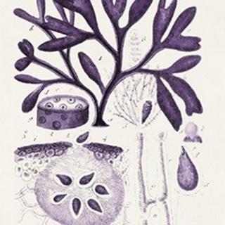Seaweed Illustration VIII
