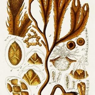 Seaweed Illustration I