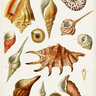 Antique Shell Collection II