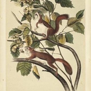 Audubon Squirrel II