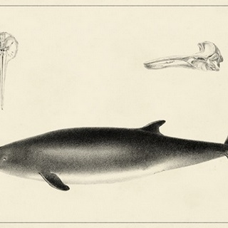 Antique Dolphin Study I