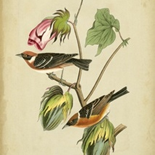 Audubon Bay Breasted Warbler