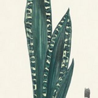 Snake Plants III