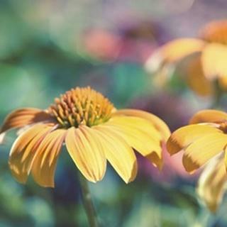Mellow Yellows II