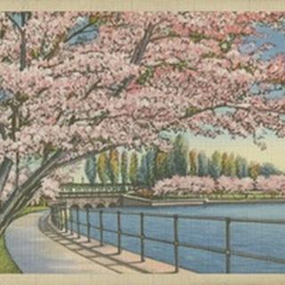 Cherry Blossoms, Potomac Park